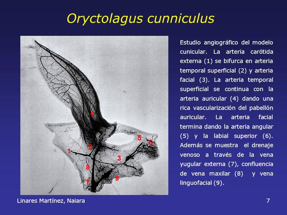 Linares Martínez, Naiara7 Estudio angiográfico del modelo cunicular. La arteria carótida externa (1) se bifurca en arteria temporal superficial (2) y