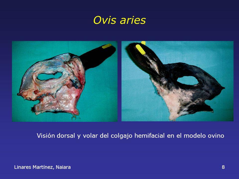 Linares Martínez, Naiara8 Ovis aries Visión dorsal y volar del colgajo hemifacial en el modelo ovino
