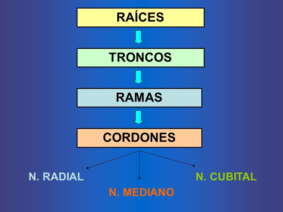 RAÍCES TRONCOS RAMAS CORDONES N. RADIAL N. MEDIANO N. CUBITAL