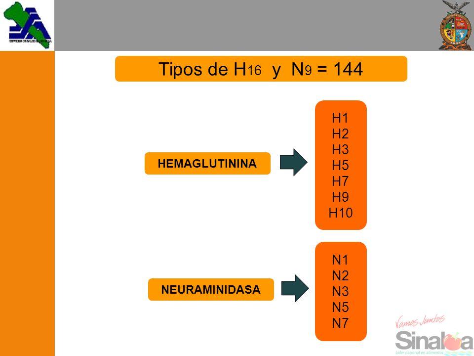 H1 H2 H3 H5 H7 H9 H10 N1 N2 N3 N5 N7 HEMAGLUTININA NEURAMINIDASA Tipos de H 16 y N 9 = 144