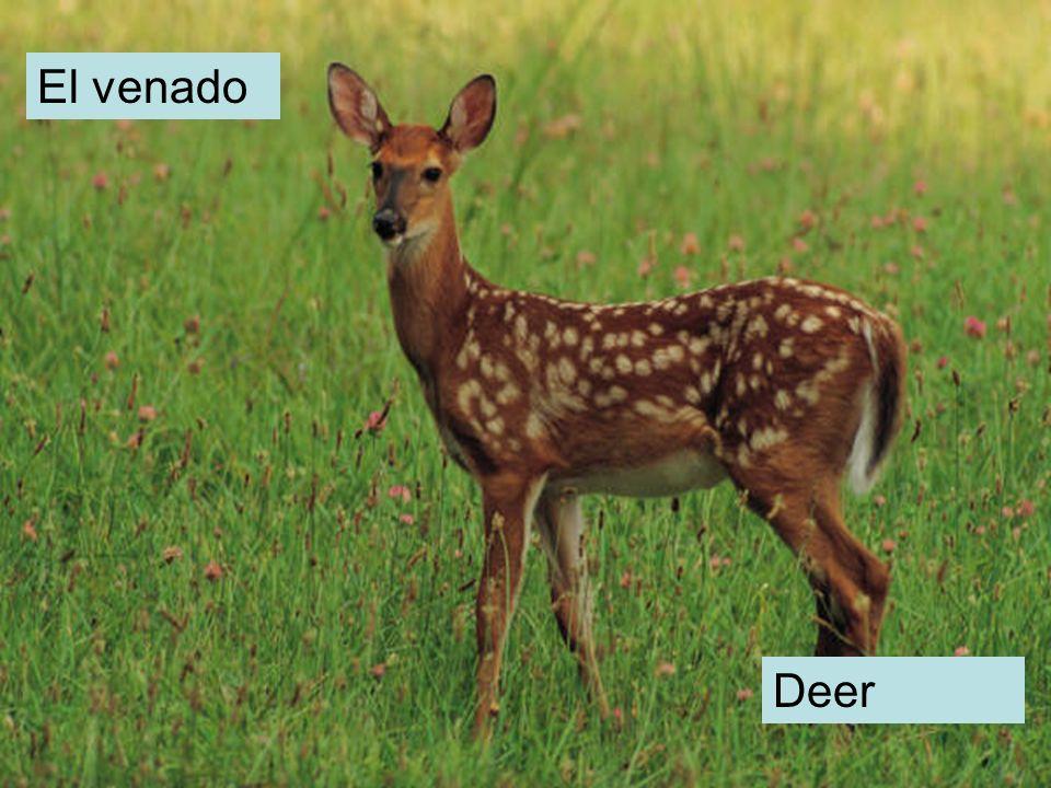 El venado Deer