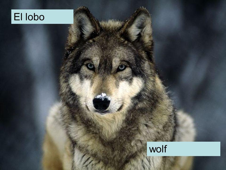 El lobo wolf