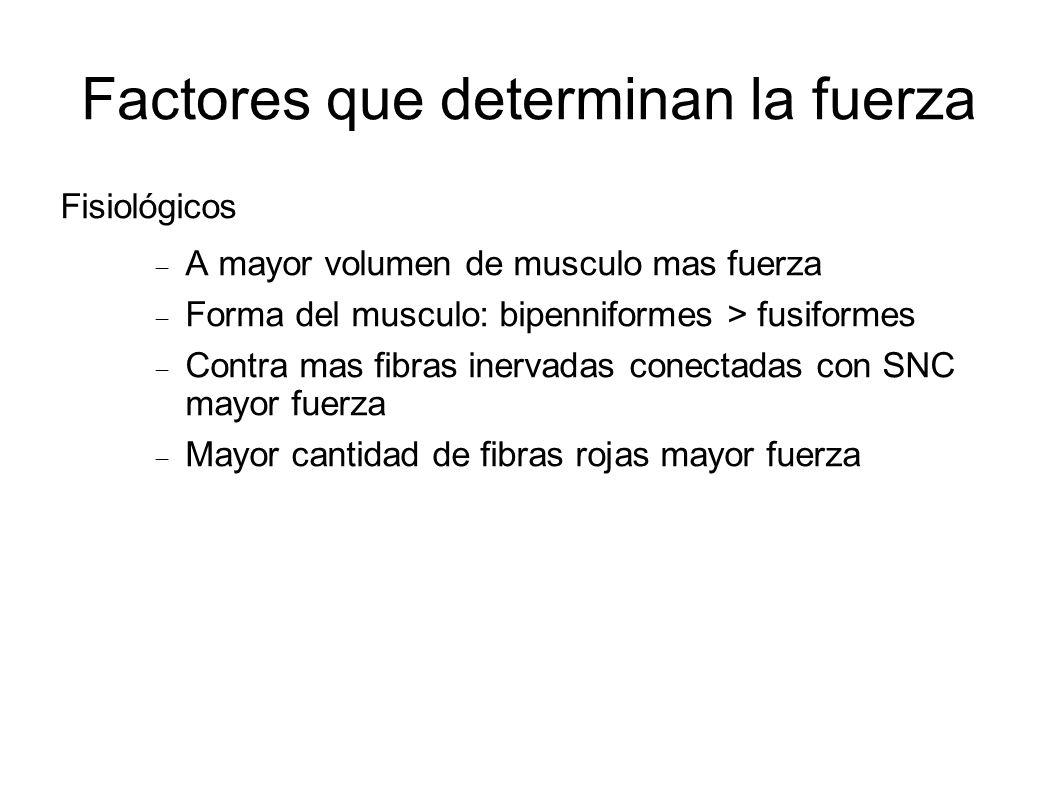 Factores que determinan la fuerza Fisiológicos A mayor volumen de musculo mas fuerza Forma del musculo: bipenniformes > fusiformes Contra mas fibras i