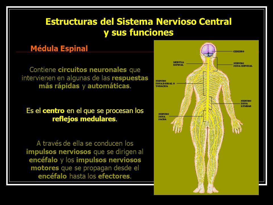 Estructuras del Sistema Nervioso Central y sus funciones Médula Espinal Contiene circuitos neuronales que intervienen en algunas de las respuestas más