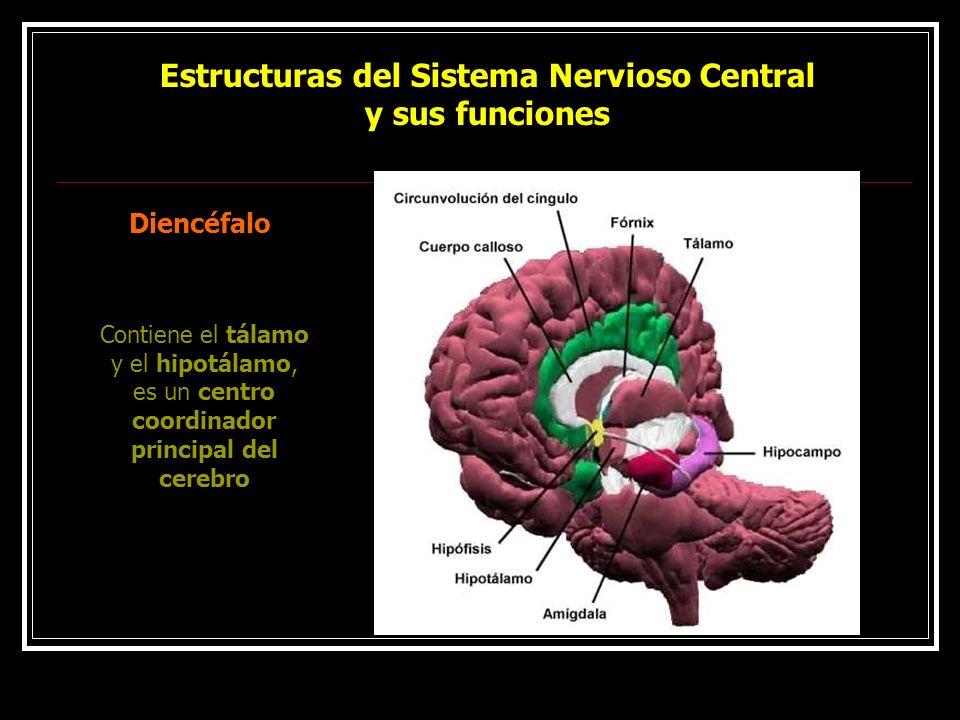 Estructuras del Sistema Nervioso Central y sus funciones Diencéfalo Contiene el tálamo y el hipotálamo, es un centro coordinador principal del cerebro