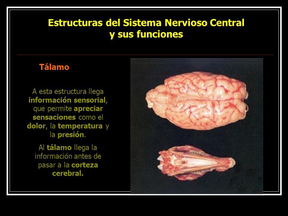 Estructuras del Sistema Nervioso Central y sus funciones Tálamo A esta estructura llega información sensorial, que permite apreciar sensaciones como e