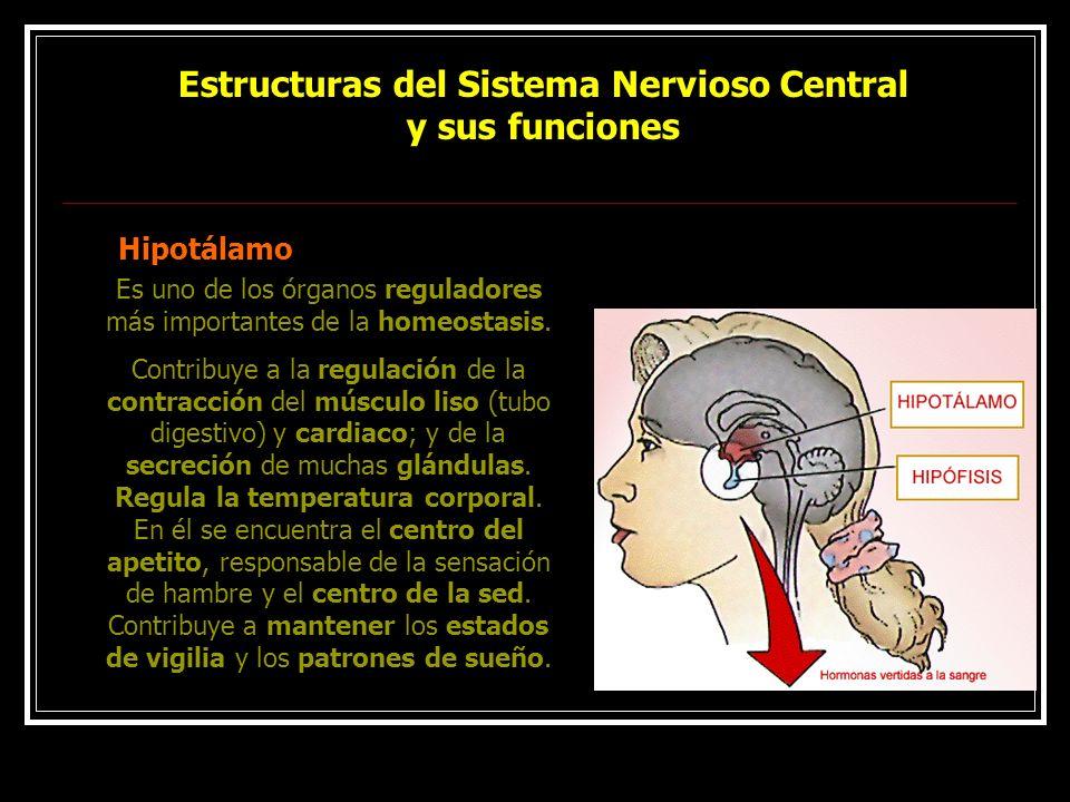 Estructuras del Sistema Nervioso Central y sus funciones Hipotálamo Es uno de los órganos reguladores más importantes de la homeostasis. Contribuye a