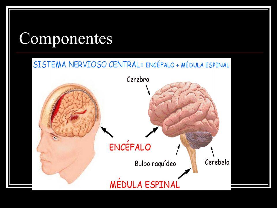 Estructuras del Sistema Nervioso Central y sus funciones Mesencéfalo Posee centros reflejos para los movimientos de los ojos, cabeza y cuello, en respuesta a estímulos visuales, y para los movimientos de la cabeza, en respuesta a estímulos auditivos.