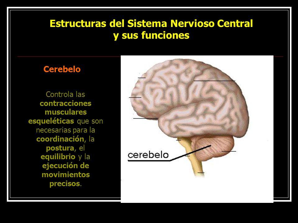 Estructuras del Sistema Nervioso Central y sus funciones Cerebelo Controla las contracciones musculares esqueléticas que son necesarias para la coordi