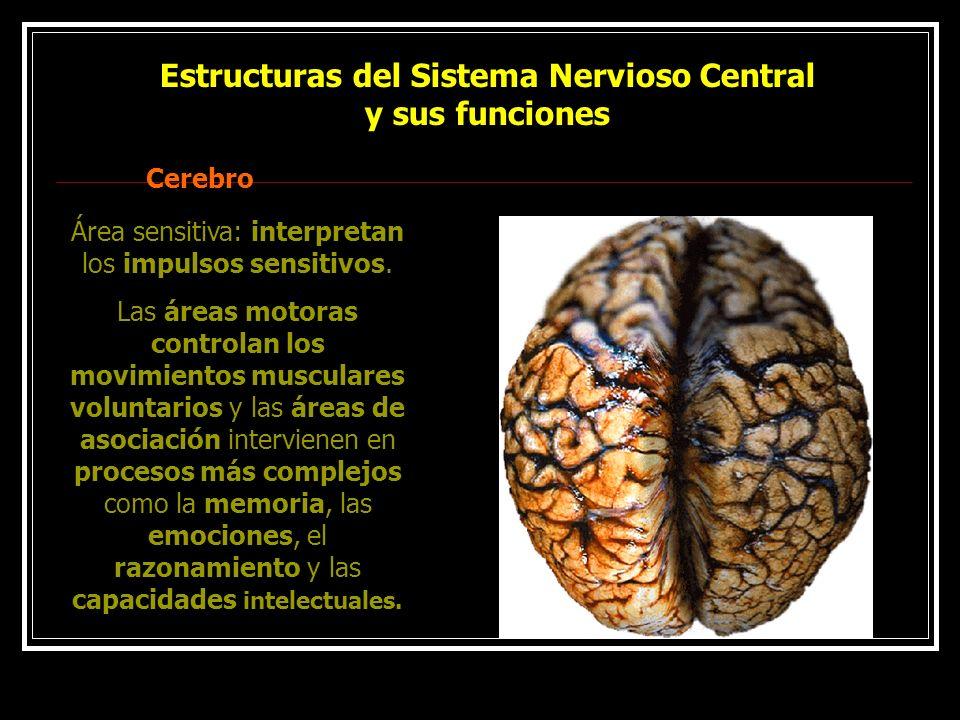 Estructuras del Sistema Nervioso Central y sus funciones Cerebro Área sensitiva: interpretan los impulsos sensitivos. Las áreas motoras controlan los