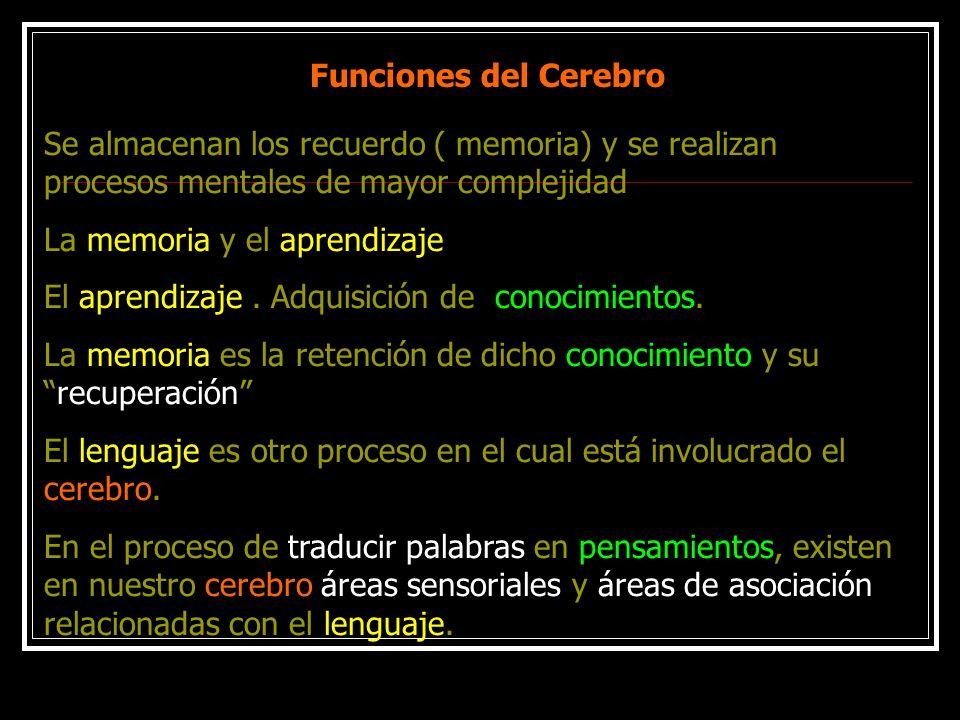 Funciones del Cerebro Se almacenan los recuerdo ( memoria) y se realizan procesos mentales de mayor complejidad La memoria y el aprendizaje El aprendi