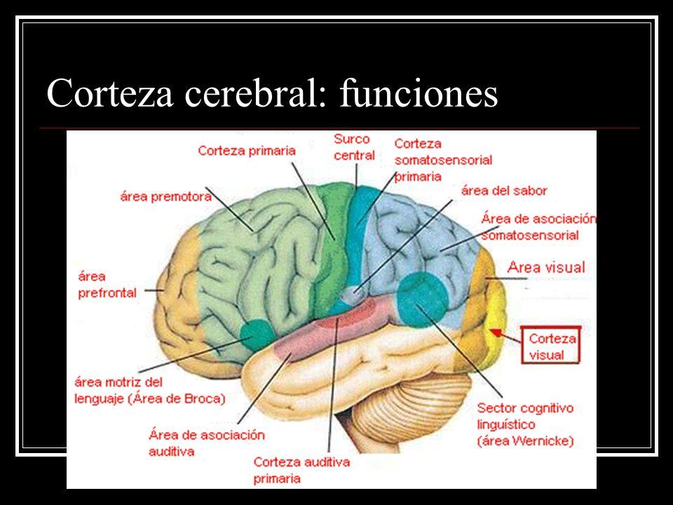 Corteza cerebral: funciones