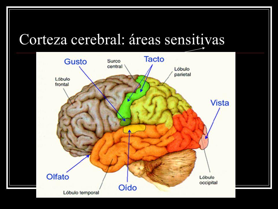 Corteza cerebral: áreas sensitivas
