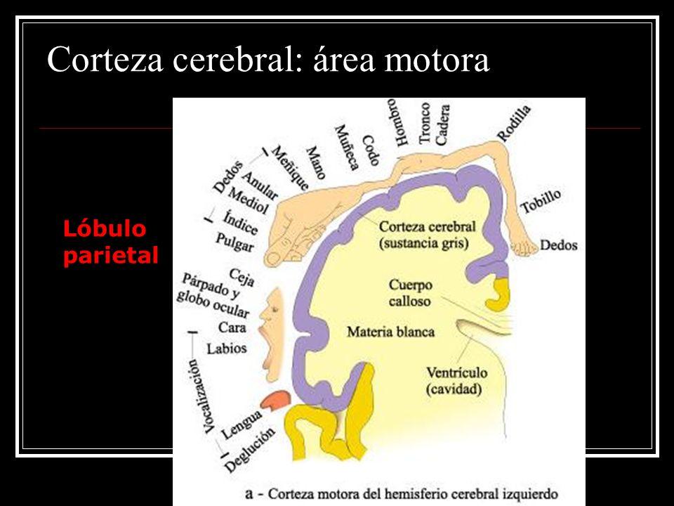 Corteza cerebral: área motora Lóbulo parietal