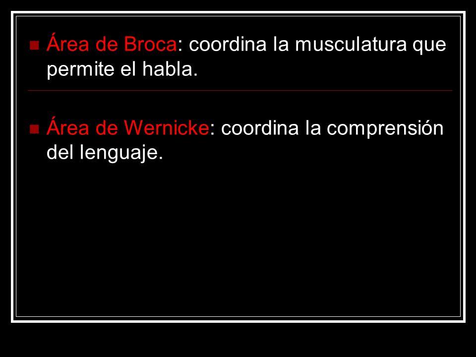 Área de Broca: coordina la musculatura que permite el habla. Área de Wernicke: coordina la comprensión del lenguaje.