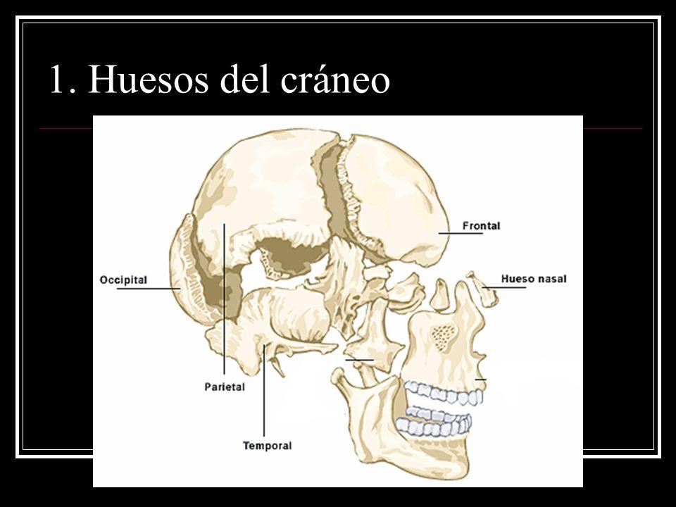 1. Huesos del cráneo