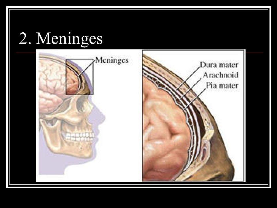 2. Meninges