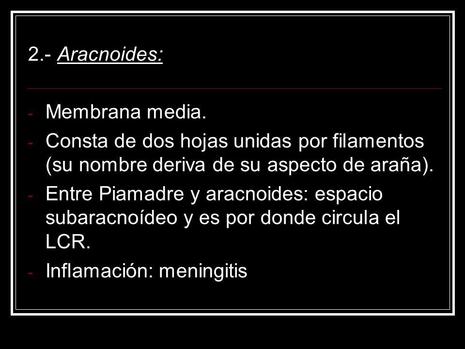 2.- Aracnoides: - Membrana media. - Consta de dos hojas unidas por filamentos (su nombre deriva de su aspecto de araña). - Entre Piamadre y aracnoides