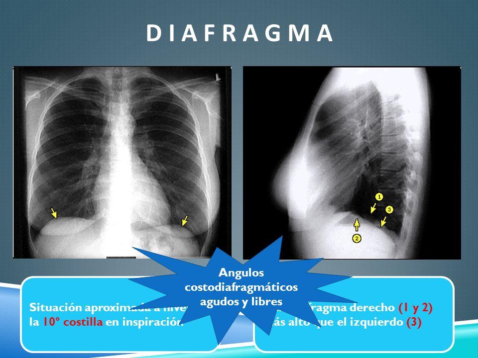 D I A F R A G M A Situación aproximada a nivel de la 10° costilla en inspiración Hemdiafragma derecho (1 y 2) más alto que el izquierdo (3) Angulos co