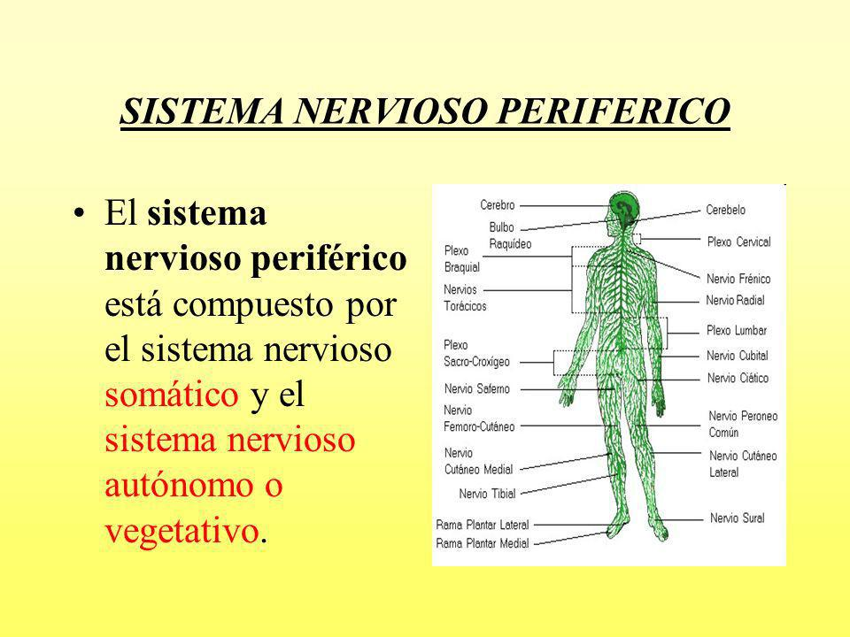 Sistema nervioso somático El sistema nervioso somático está compuesto por: Nervios espinales, que son los que envían información sensorial (tacto, dolor) del tronco y las extremidades hacia el sistema nervioso central a través de la médula espinal.