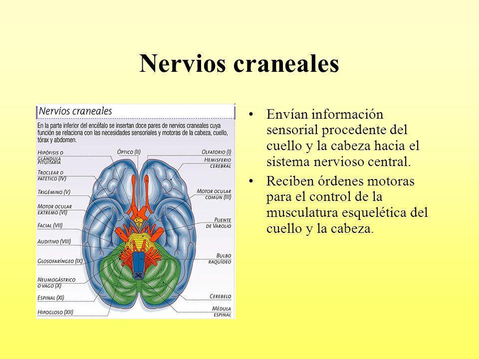 Nervios craneales Envían información sensorial procedente del cuello y la cabeza hacia el sistema nervioso central. Reciben órdenes motoras para el co