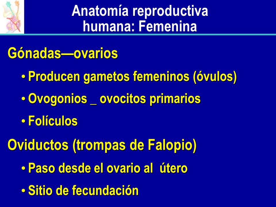 Anatomía reproductiva humana: Femenina Gónadasovarios Producen gametos femeninos (óvulos) Producen gametos femeninos (óvulos) Ovogonios _ ovocitos pri