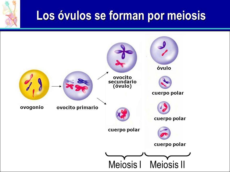 Los óvulos se forman por meiosis Meiosis I Meiosis II ovogonio ovocito primario ovocito secundario (óvulo) cuerpo polar óvulo cuerpo polar