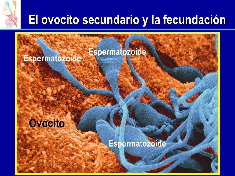 El ovocito secundario y la fecundación Ovocito Espermatozoide