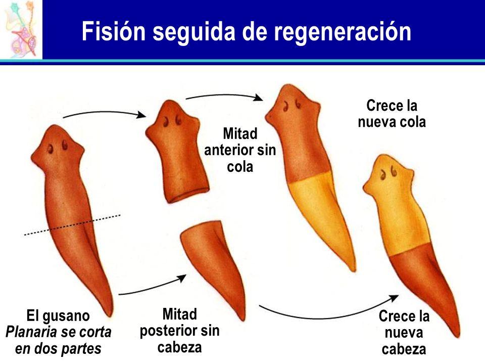 Fisión seguida de regeneración El gusano Planaria se corta en dos partes Mitad posterior sin cabeza Crece la nueva cabeza Mitad anterior sin cola Crec