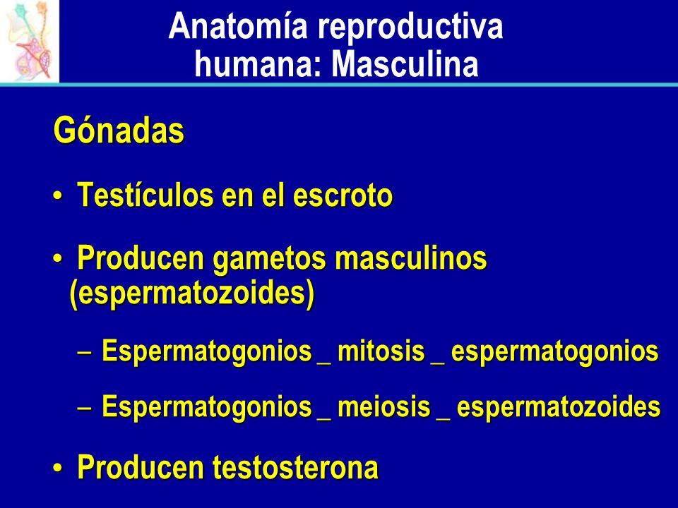 Anatomía reproductiva humana: Masculina Gónadas Gónadas Testículos en el escroto Testículos en el escroto Producen gametos masculinos (espermatozoides