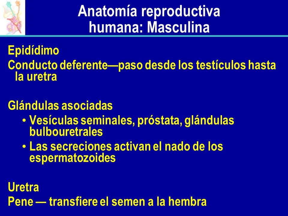 Epidídimo Conducto deferentepaso desde los testículos hasta la uretra Glándulas asociadas Vesículas seminales, próstata, glándulas bulbouretrales Las