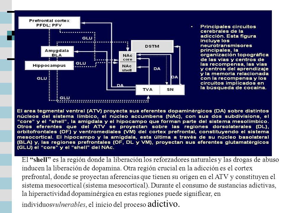 El shell es la región donde la liberación los reforzadores naturales y las drogas de abuso inducen la liberación de dopamina. Otra región crucial en l