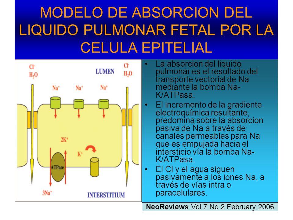 MODELO DE ABSORCION DEL LIQUIDO PULMONAR FETAL POR LA CELULA EPITELIAL La absorcion del liquido pulmonar es el resultado del transporte vectorial de N