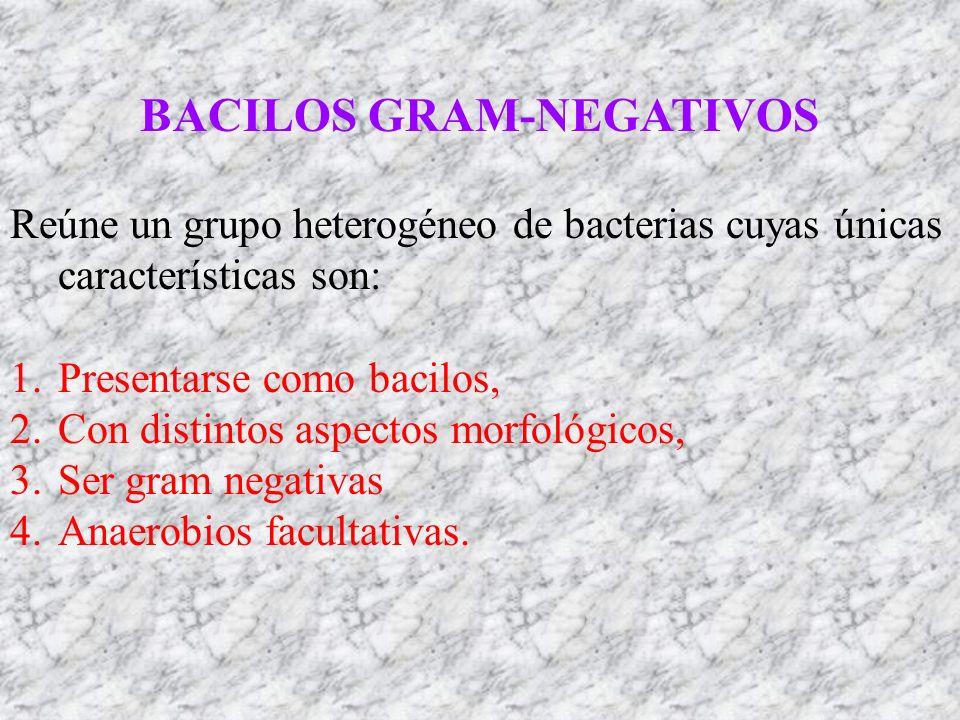 BACILOS GRAM-NEGATIVOS Reúne un grupo heterogéneo de bacterias cuyas únicas características son: 1.Presentarse como bacilos, 2.Con distintos aspectos