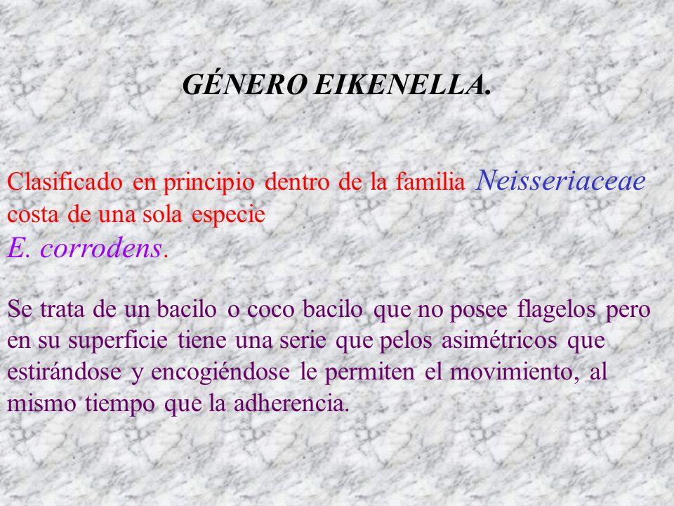 GÉNERO EIKENELLA. Clasificado en principio dentro de la familia Neisseriaceae costa de una sola especie E. corrodens. Se trata de un bacilo o coco bac