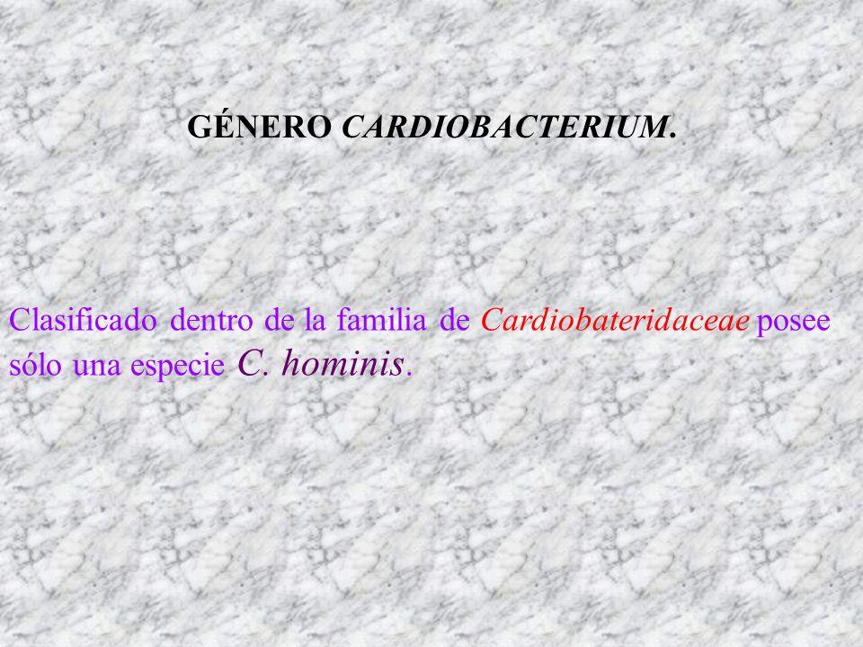 GÉNERO CARDIOBACTERIUM. Clasificado dentro de la familia de Cardiobateridaceae posee sólo una especie C. hominis.