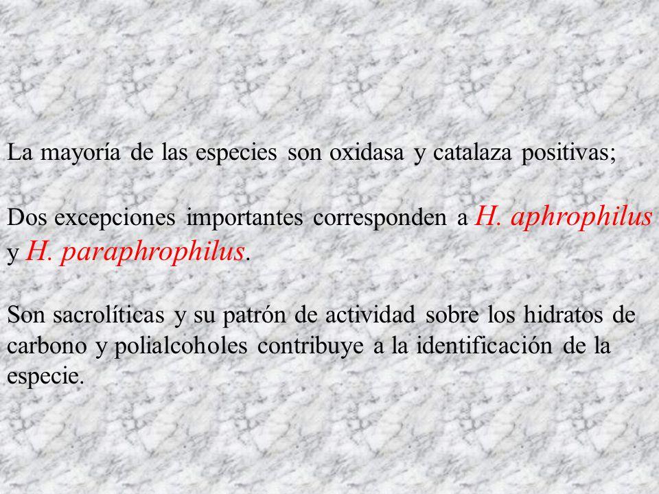 La mayoría de las especies son oxidasa y catalaza positivas; Dos excepciones importantes corresponden a H. aphrophilus y H. paraphrophilus. Son sacrol