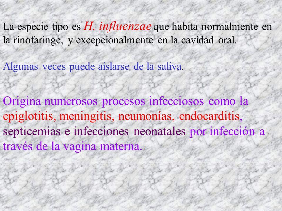 La especie tipo es H. influenzae que habita normalmente en la rinofaringe, y excepcionalmente en la cavidad oral. Algunas veces puede aislarse de la s