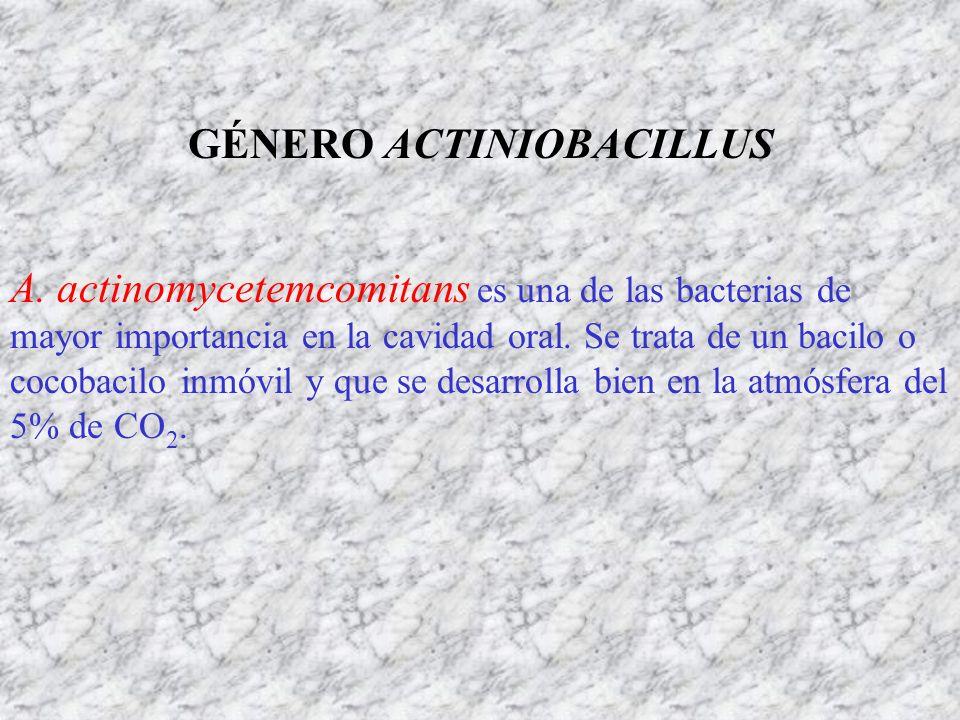 GÉNERO ACTINIOBACILLUS A. actinomycetemcomitans es una de las bacterias de mayor importancia en la cavidad oral. Se trata de un bacilo o cocobacilo in