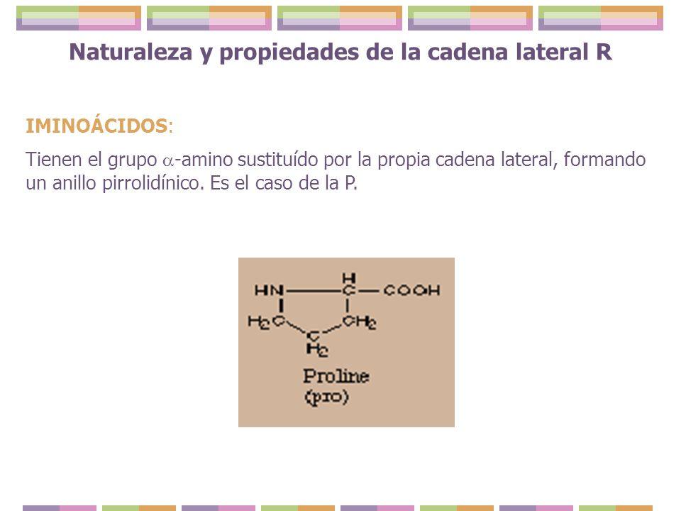 Naturaleza y propiedades de la cadena lateral R IMINOÁCIDOS: Tienen el grupo -amino sustituído por la propia cadena lateral, formando un anillo pirrol