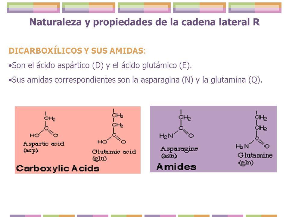 DICARBOXÍLICOS Y SUS AMIDAS: Son el ácido aspártico (D) y el ácido glutámico (E). Sus amidas correspondientes son la asparagina (N) y la glutamina (Q)