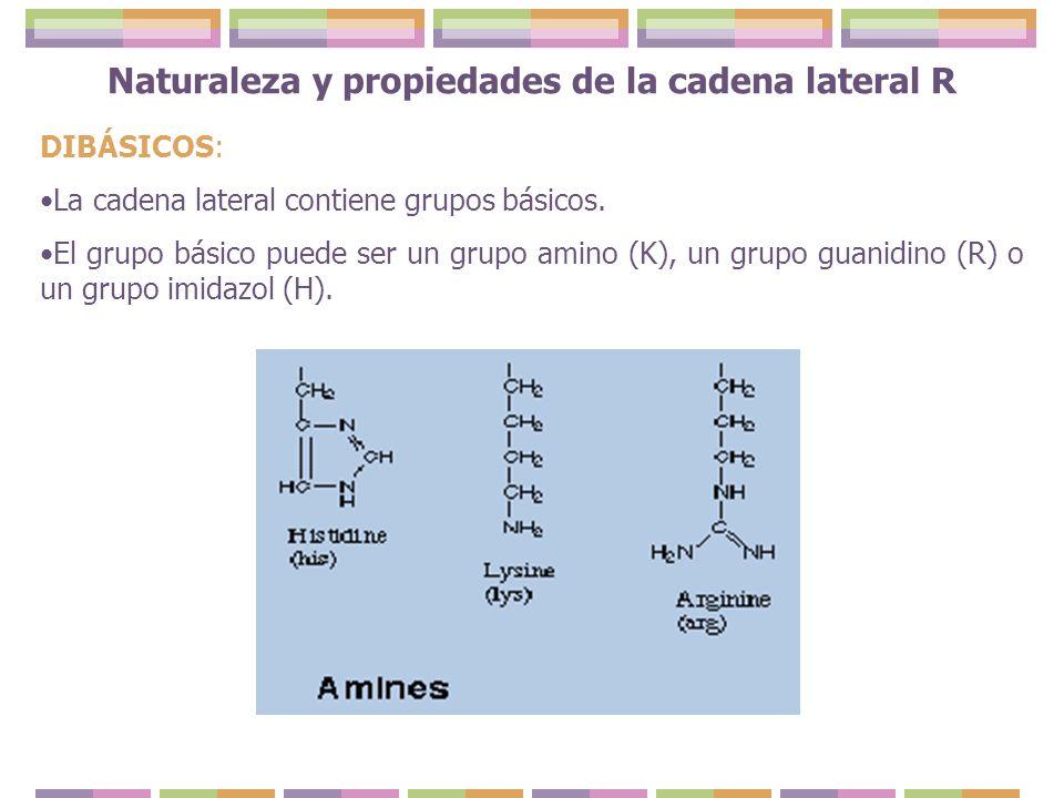 DIBÁSICOS: La cadena lateral contiene grupos básicos. El grupo básico puede ser un grupo amino (K), un grupo guanidino (R) o un grupo imidazol (H).