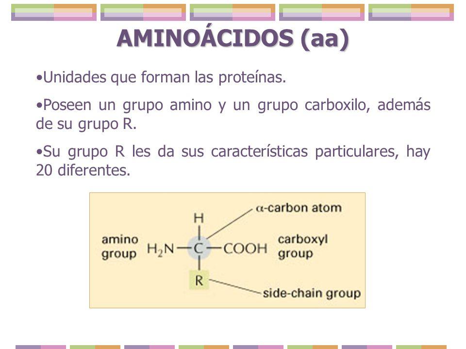 AMINOÁCIDOS (aa) Unidades que forman las proteínas. Poseen un grupo amino y un grupo carboxilo, además de su grupo R. Su grupo R les da sus caracterís