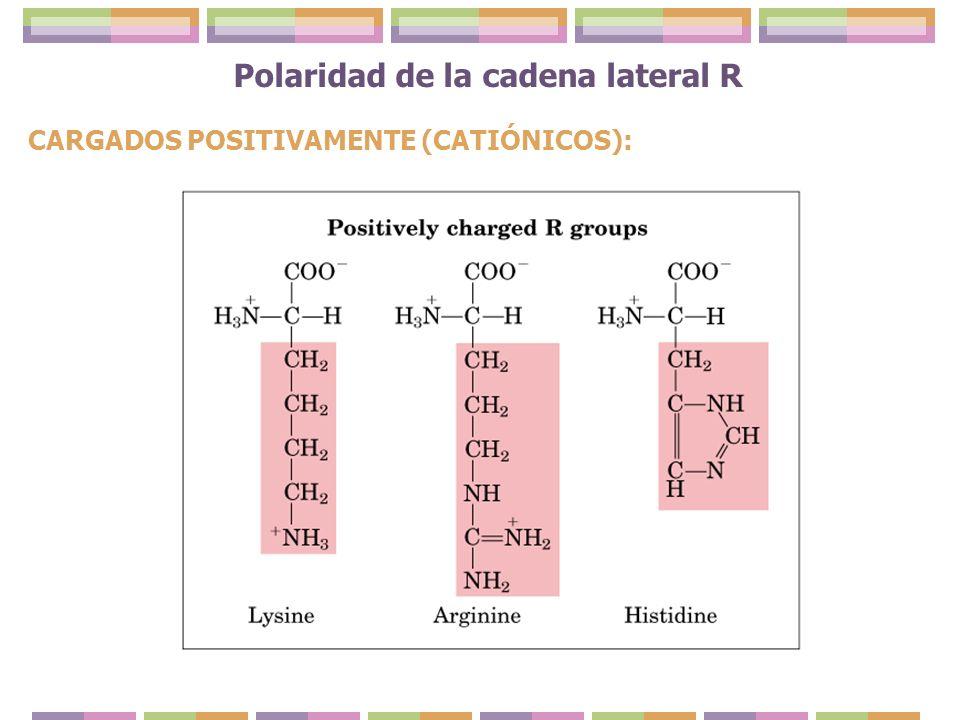 Polaridad de la cadena lateral R CARGADOS POSITIVAMENTE (CATIÓNICOS):