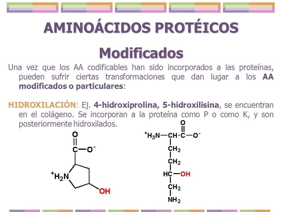 AMINOÁCIDOS PROTÉICOS Modificados Una vez que los AA codificables han sido incorporados a las proteínas, pueden sufrir ciertas transformaciones que da