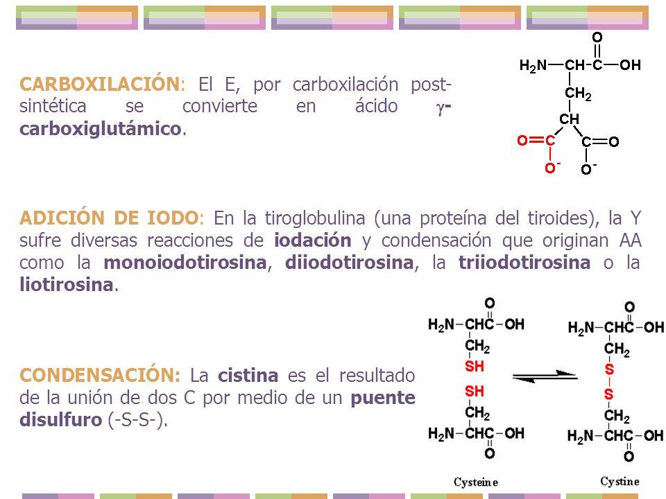 CONDENSACIÓN: La cistina es el resultado de la unión de dos C por medio de un puente disulfuro (-S-S-). CARBOXILACIÓN: El E, por carboxilación post- s