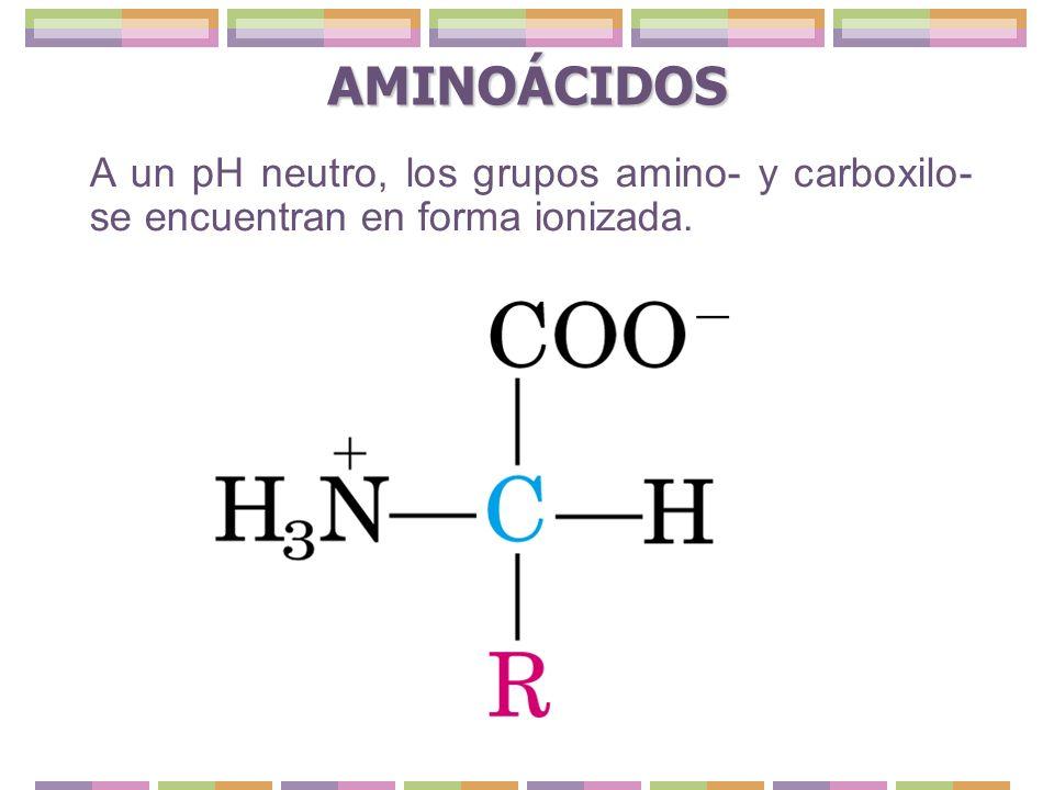 AMINOÁCIDOS A un pH neutro, los grupos amino- y carboxilo- se encuentran en forma ionizada.