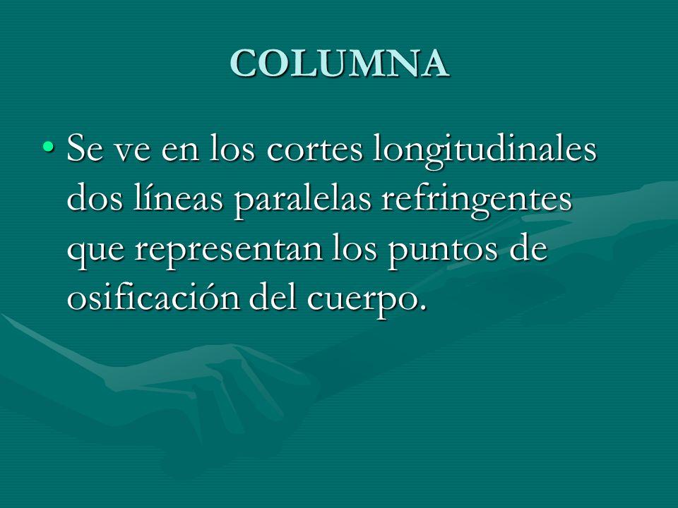 COLUMNA Se ve en los cortes longitudinales dos líneas paralelas refringentes que representan los puntos de osificación del cuerpo.Se ve en los cortes