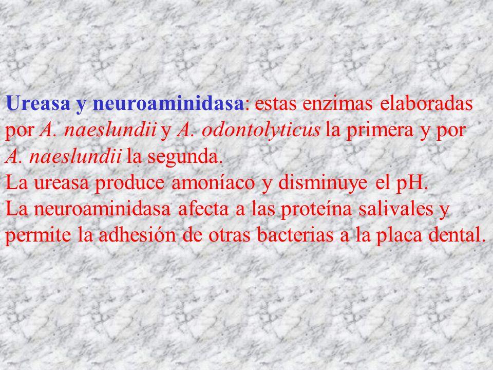 Ureasa y neuroaminidasa: estas enzimas elaboradas por A. naeslundii y A. odontolyticus la primera y por A. naeslundii la segunda. La ureasa produce am