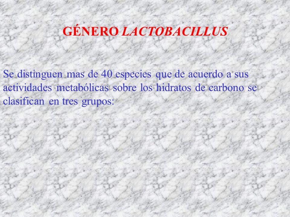 GÉNERO LACTOBACILLUS Se distinguen mas de 40 especies que de acuerdo a sus actividades metabólicas sobre los hidratos de carbono se clasifican en tres